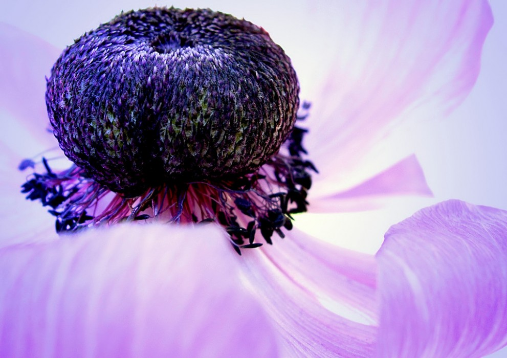 photoblog image Anemone Crown