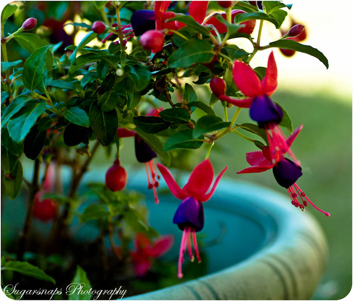 photoblog image Fuchsia 'Dark Eyes'